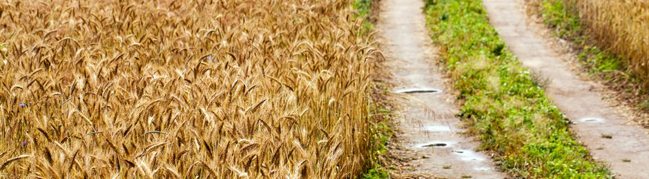 Wheat stalks in field next to dirt road